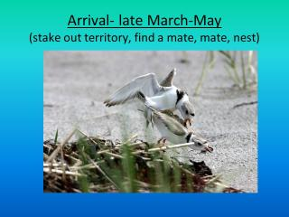 Arrival- late March-May(stake out territory, find a mate, mate, nest