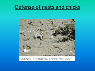 Defense of nests and chicks