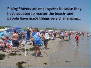 Piping Plovers are endangered because they have adapted to master the beach- and people have made things very challenging