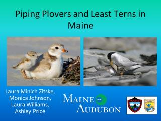 Piping Plovers and Least Terns in Maine