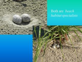 Both are  beach habitat specialists
