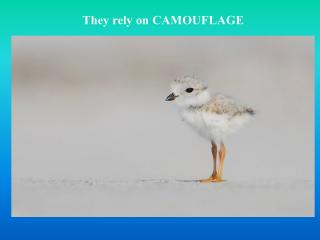 They rely on CAMOUFLAGE