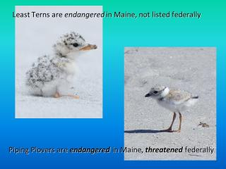 Least Terns are endangered in Maine, not listed federally.    Piping Plovers are endangered in Maine, threatened federally .