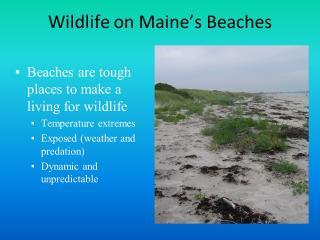 Wildlife on Maine's Beaches