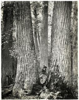 Stand of American chestnuts more than a century ago.  Source:  google images